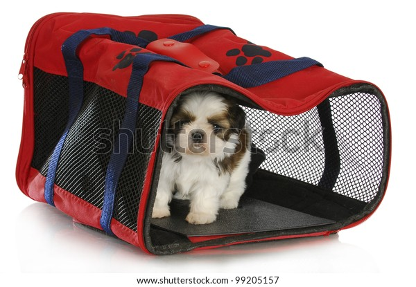 puppy carrier - shih tzu puppy in a pet carrier on white background - 6 weeks old