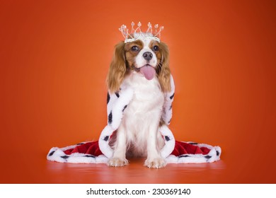 Puppy Cavalier King Charles Spaniel in a suit of the Queen on orange isolated background