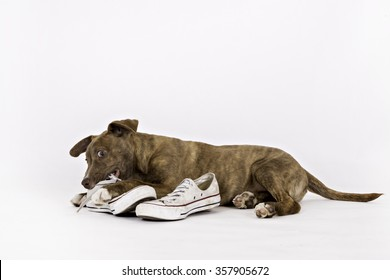 Puppy chewing on a shoe