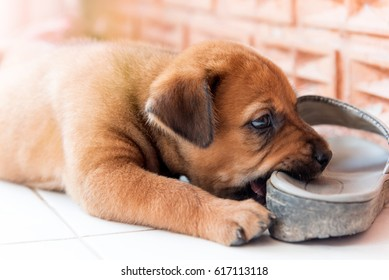 Puppy chewing shoes, shallow focus