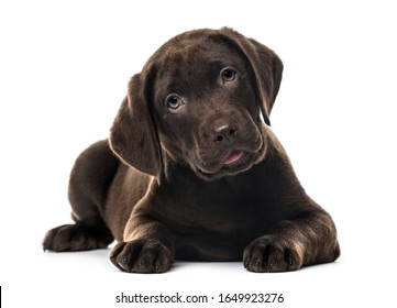 Puppy chocolate Labrador Retriever lying, 3 months old , isolated on white