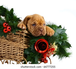 Puppy in the Christmas sledge.