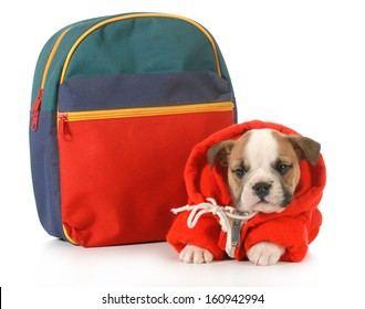 puppy classes - english bulldog puppy dressed up for school isolated on white background - 7 weeks old