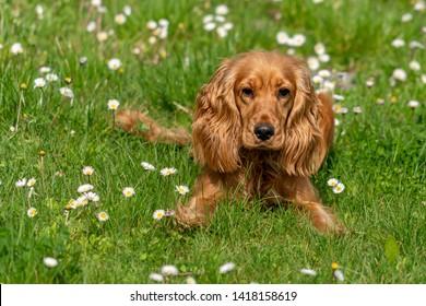 Puppy cocker spaniel dog running on the grass