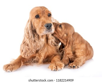 puppy cocker spaniel and mother in front of white background