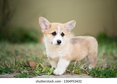 puppy corgi dog on the grass in summer sunny day
