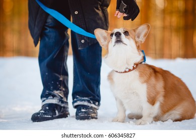 Puppy corgi team Executes the command to  jump, barrier. Training with the cynologist. Winter.