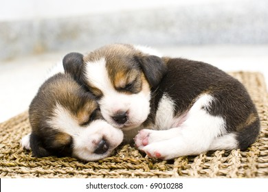 puppy cute beagle