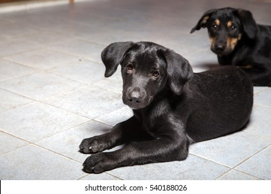 Puppy cute black lay down and thinking  concept adoption pet need help