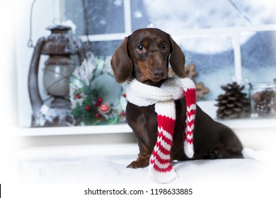 Puppy dachshund, Christmas dog dressed in  knitted scarf handmade