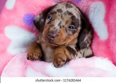 puppy Dachshund dog portrait