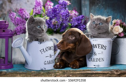 puppy dachshund and kitten scottish fold