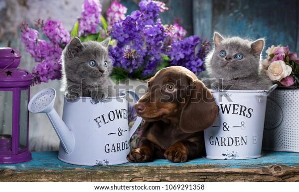 puppy dachshund and kitten scottish fold