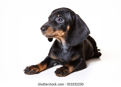 Puppy dachshund lies (isolated on white)