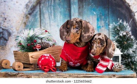 Puppy dachshund; New Year's puppy; Christmas dog