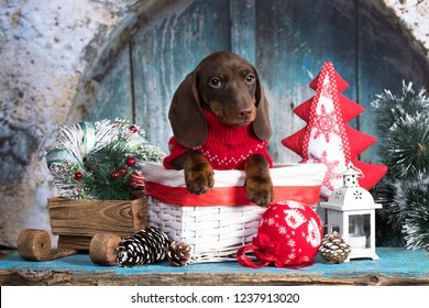 Puppy dachshund, New Year's puppy, Christmas dog