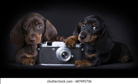 puppy Dachshund and old analog retro photo camera