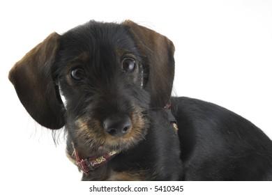 puppy dachshund in the studio