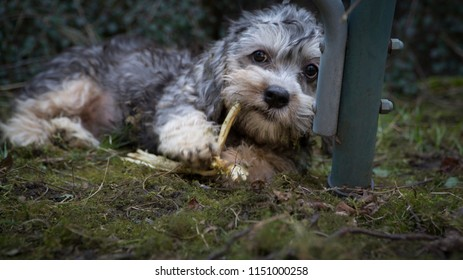 Puppy of dandie dinmont terrier focuses on the biting of stick and thinking about some important dog issue probably