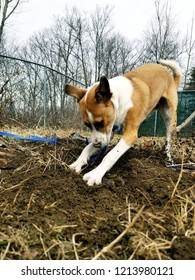 Puppy digging hole