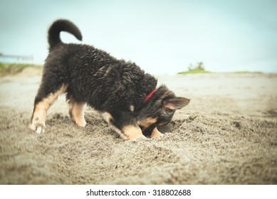 Puppy digging a hole on a beach. Border Collie, McNab and Lab mix.  Retro vintage filter effect applied.
