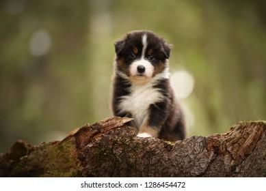Puppy discover the world. Australian shepherd puppy.
