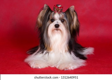 Puppy dog biver york on a red background