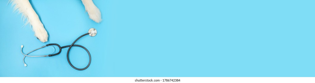 Puppy dog border collie paws and stethoscope isolated on blue background. Little dog on reception at veterinary doctor in vet clinic. Pet health care and animals concept. Banner
