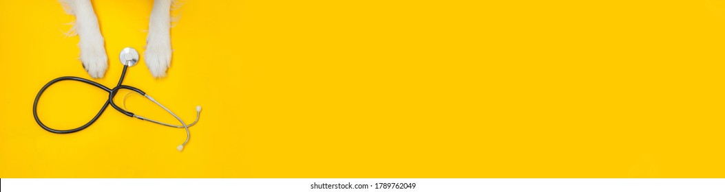Puppy dog border collie paws and stethoscope isolated on yellow background. Little dog on reception at veterinary doctor in vet clinic. Pet health care and animals concept. Banner