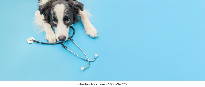 Puppy dog border collie and stethoscope isolated on blue background. Little dog on reception at veterinary doctor in vet clinic. Pet health care and animals concept. Banner