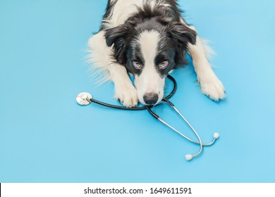 Puppy dog border collie and stethoscope isolated on blue background. Little dog on reception at veterinary doctor in vet clinic. Pet health care and animals concept.