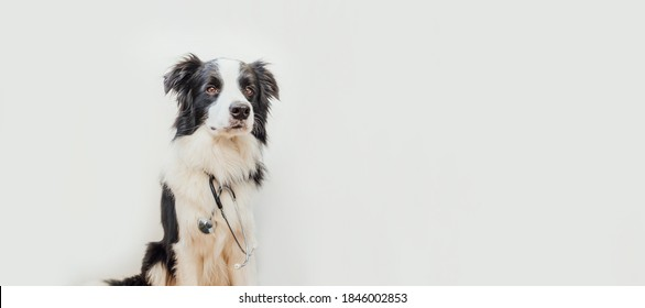 Puppy dog border collie with stethoscope isolated on white background. Little dog on reception at veterinary doctor in vet clinic. Pet health care and animals concept Banner