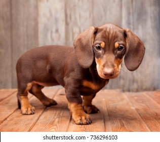 puppy dog breed dachshund on wood background.