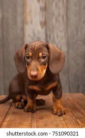puppy dog breed dachshund on wood background.