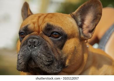 Puppy dog breed French bulldog portrait close