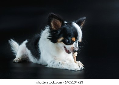 Puppy dog chihuahua eat,Dog eats chicken,feeding pet concept.