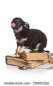 Puppy dog chihuahua licking on old books (isolated on white)