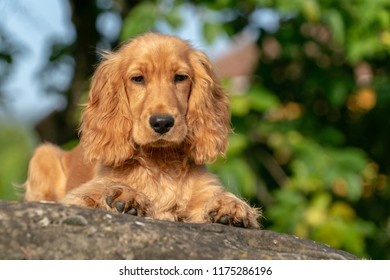 puppy dog cocker spaniel portrait green grass background