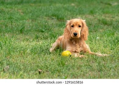puppy dog cocker spaniel portrait green grass background