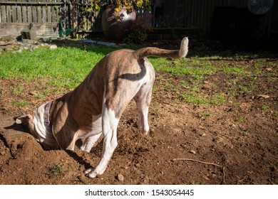 Puppy Dog Digging A Hole in the Yard Garden
