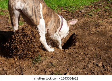 Puppy Dog Digging A Hole in The Yard Garden Lawn