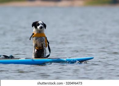 Puppy dog enjoying a SUP ride on Lake Jordan
