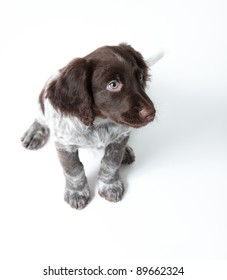 Puppy dog, German Shorthaired Pointer, against white background with room for copy space