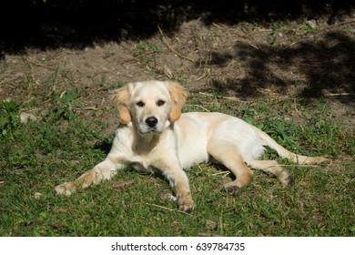 Puppy dog, golden retriever puppy, labrador