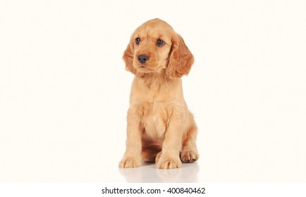puppy dog isolated over white background