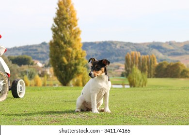 Puppy dog Jack Russell, a golf course, sitting in the departure of a hole. Look at the players while pulling the ball.