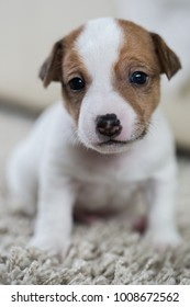 Puppy dog jack russell terrier age one month