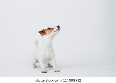 Puppy dog jack russell terrier stands and looks up to the right side isolated on white background. Side face pose. Studio portrait.