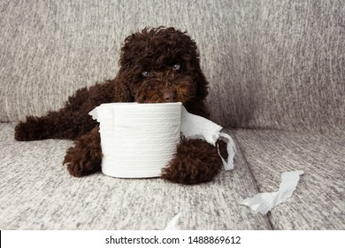 puppy dog mischief. chocolate poodle shedding and unrolling toilet paper. Disobey and education concept.