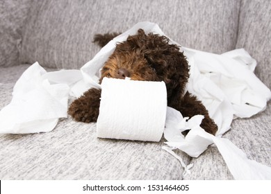 puppy dog mischief. poodle chewing, biting and unrolling toilet paper. Disobey and education concept.